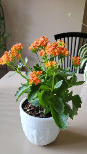 Plant / Pot for Sale in Colorado Springs, CO