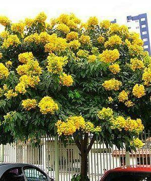 Cassia Tree for Sale in Palm Bay, FL