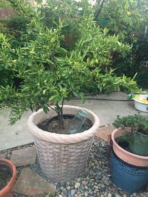 Huge pot for Sale in Fresno, CA
