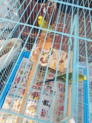 One year old parakeets cage included for Sale in Costa Mesa, CA