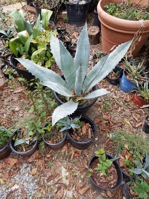 Blue agrave $60 for Sale in Frisco, TX