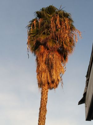 Palm tree. Pretty lol big thang for Sale in Westminster, CA