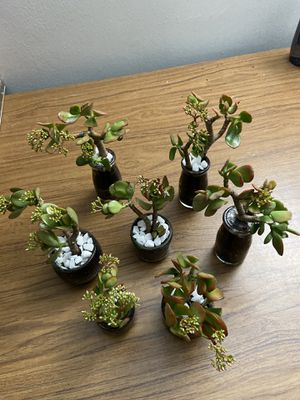 Many jade bonsai plant. See each picture below. 5$/ea for Sale in Monterey Park, CA