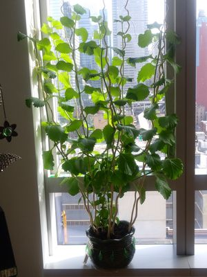 Real Oregano plant for Sale in Weehawken, NJ