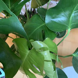 Monstera Deliciosa (full and lots of split leaves) for Sale in Renton, WA