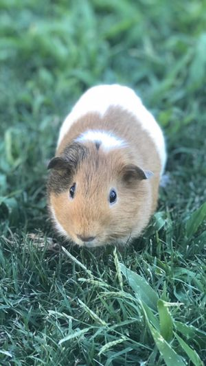 Guinea pig cage and Male Guinea Pig for Sale in Phoenix, AZ