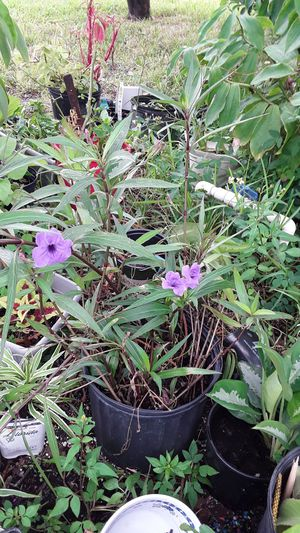 Mexican petunias for Sale in Tampa, FL