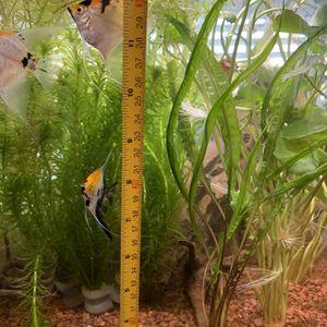 Myrio Aquarium Plant 11 Inch for Sale in South El Monte, CA