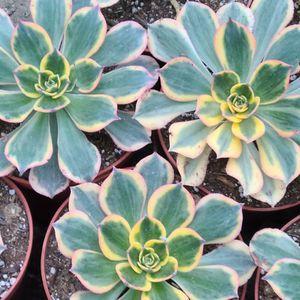 Aeonium Sunburst Succulent Plant for Sale in Riverside, CA