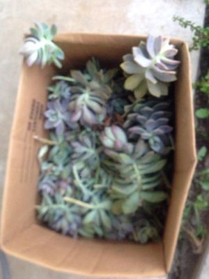 Free succulent cuttings (pending) for Sale in Temple City, CA