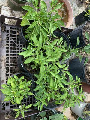 Varieties of Hit pepper plants for Sale in Raleigh, NC