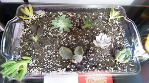 Succulents ready to plant for Sale in Elyria, OH
