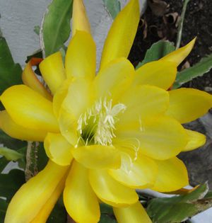 """14"""" Beautiful Homegrown Epiphyllum Oxypetalum Golden Orchid Cactus - Queen Of The Night for Sale in Austin, TX"""