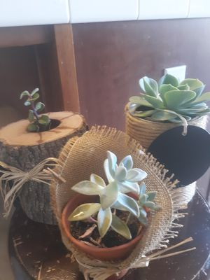 3 decorations. Real succulents . All for 15 or each for 6 for Sale in Reedley, CA