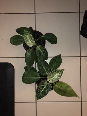 Birkin Philodendron for Sale in San Jose, CA