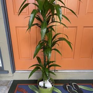 Dracaena Massageana Elegance Mass Cane House Plant for Sale in San Diego, CA