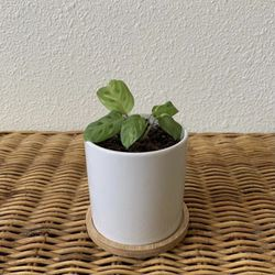 """Variegated Maranta w/ 3.5"""" Ceramic White Pot and Bamboo Tray for Sale in Golden,  CO"""