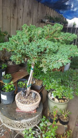 2 feet and 1/2 Juniper upright for Sale in Fresno, CA