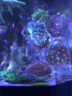 Hollywood Stunner Chalice coral frags for Sale in Manassas, VA