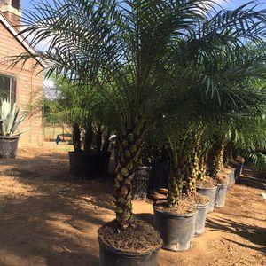 Palm Tree for Sale in Riverside, CA