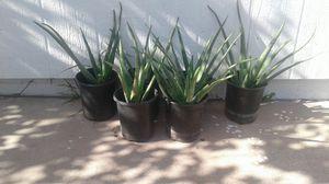 Aloe Sabilas Plantas for Sale in Glendale, AZ