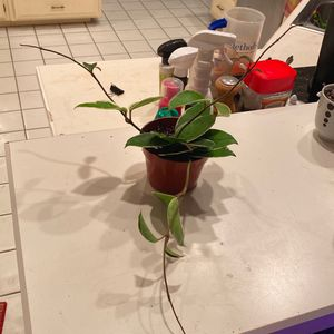 Hoya Carnosa Krimson Queen for Sale in Arlington, TX