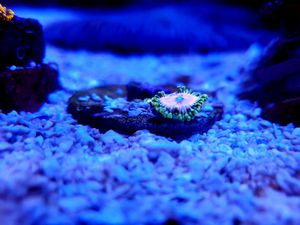 Pink Diamond Zoa (3 Polyps+) for Sale in Anaheim, CA