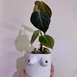 Philodendron Melanochrysum for Sale in Portland, OR