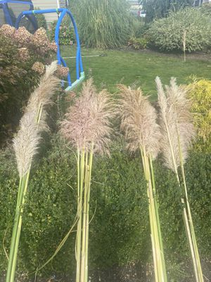Dried pampas grass for Sale in Bonney Lake, WA