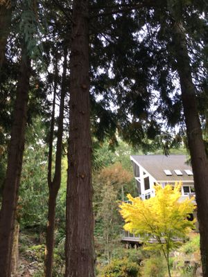 Free to limbs cedar tree for Sale in Belfair, WA