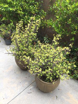 Pair of potted plants. for Sale in Irvine, CA