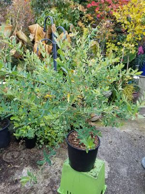 Dappled Japanese willow for Sale in Port Orchard, WA