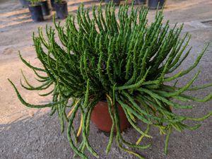 Medusa's Head Succulent (Rare) for Sale in Perris, CA