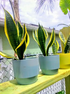 Snake Plants for Sale in Kissimmee, FL