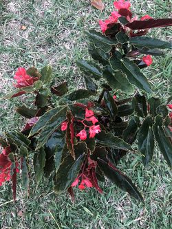BEGONIA / ANGEL WINGS for Sale in Hollywood,  FL