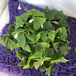 "Green Oxalis Full Pot 6"" for Sale in Lynwood, CA"