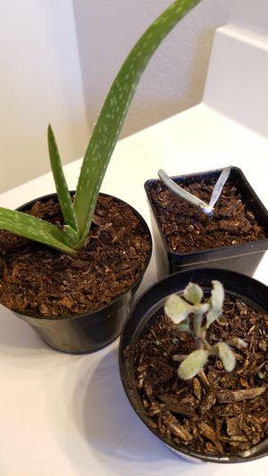 Succulents for Sale in Arlington, TX