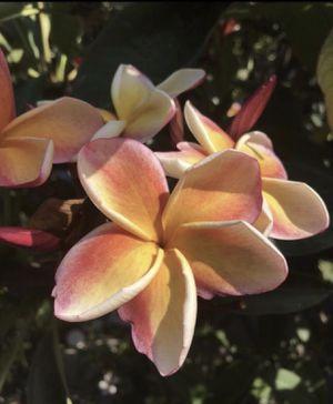 Beautiful Plumeria Cutting for Sale in Ontario, CA