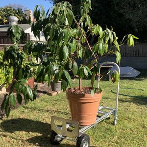 Fruiting Avocado Tree - Ideal addition to any patio or garden for Sale in Manhattan Beach, CA