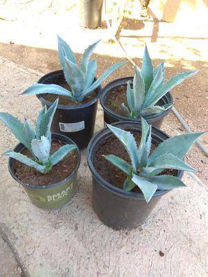 blue agave plants plantas for Sale in Phoenix, AZ
