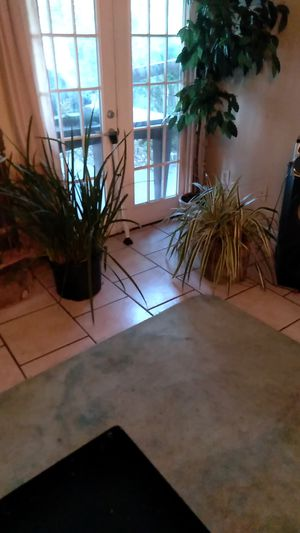 Plants that are real are the small ones and they are both for 50 dollars the tall one is fake and not for sale for Sale in Metairie, LA
