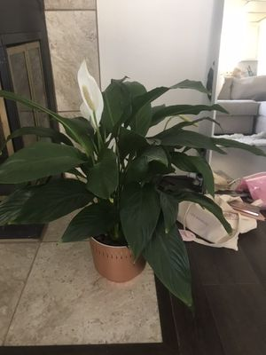Beautiful living room large houseplant for Sale in Los Angeles, CA