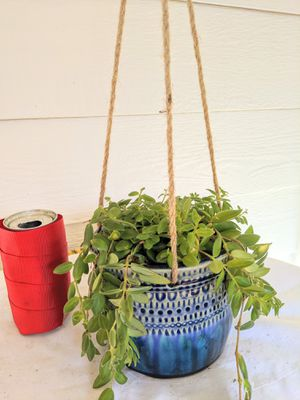 Lipstick Flower Plants in Blue Hanging Ceramic Planter Pot-Real Indoor House Plant for Sale in Auburn, WA