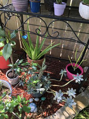 Crown of thorns, flower pot with ghost plants, Pencil cactus, Aloe Vera, plumeria all 5 $65 for Sale in San Antonio, TX