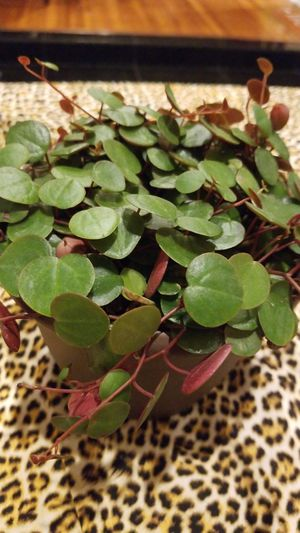Peperromia ruby casade 6in for Sale in Orange, CA