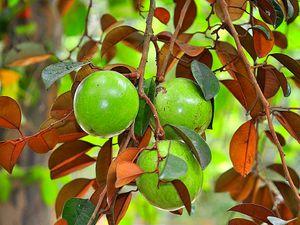 Start apple Caimito grafted trees arboles de Caimito injertado en 7gal for Sale in West Palm Beach, FL