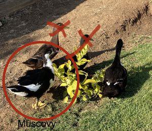 Ducks for sale for Sale in Vallejo, CA