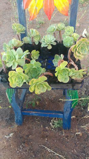 Succulents, Green Aeonium Flowers, Drought Tolerant Garden for Sale in Ramona, CA