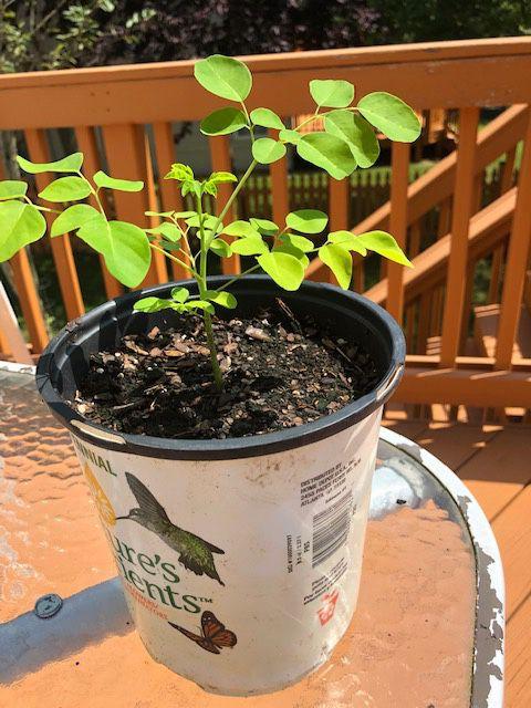 Moringa plants!