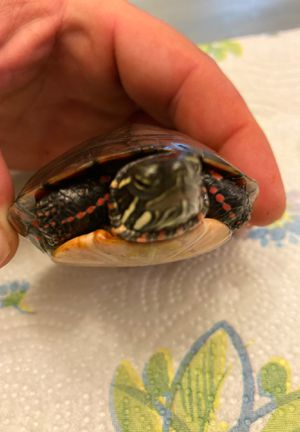 Turtle for Sale in Obetz, OH